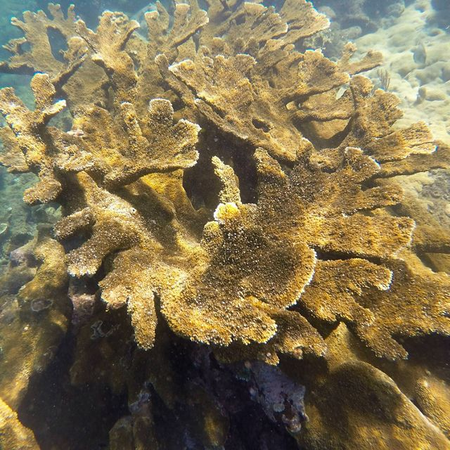 Elkhorn corals, an important reef-building species, thrive in a protected marine area in Puerto Rico.
