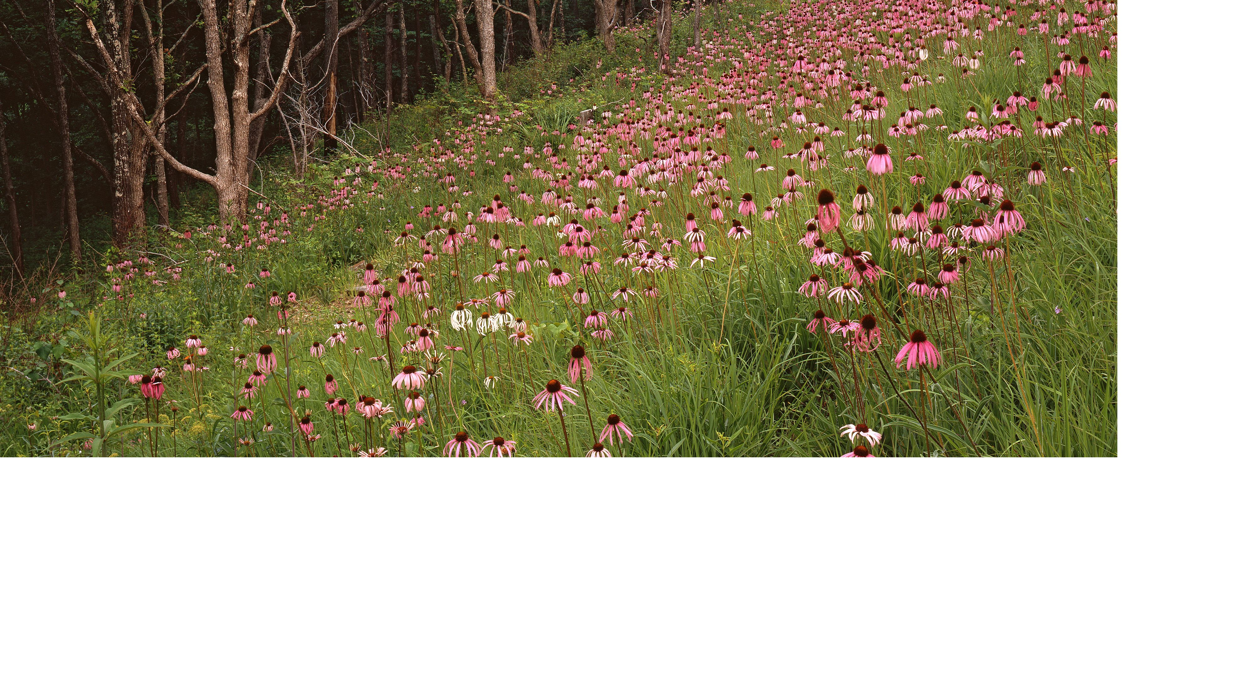 Coneflowers at Harrison County Glades.