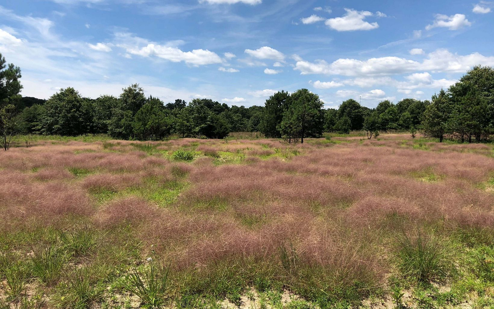 Purple love grass at the site of a spring prescribed burn Hurley Tract.