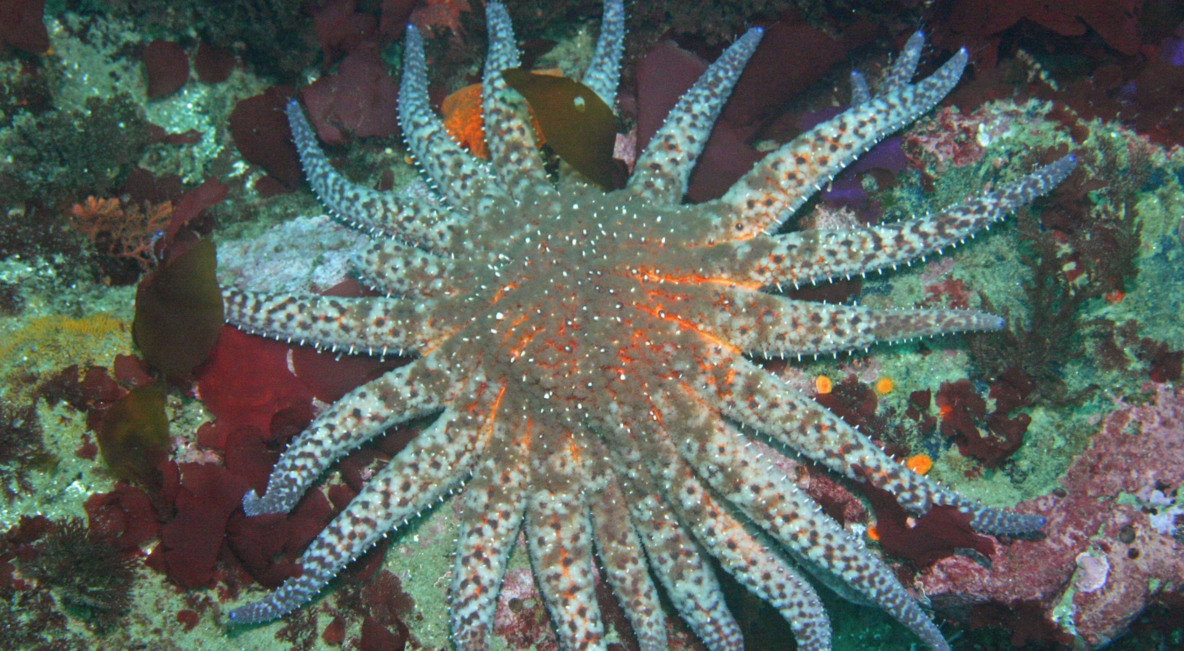 A sunflower star: a blue and brown mottled sea star with about twenty arms and short white spikes on its arms and body.