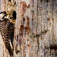 Red-cockaded woodpecker at home in a longleaf pine.