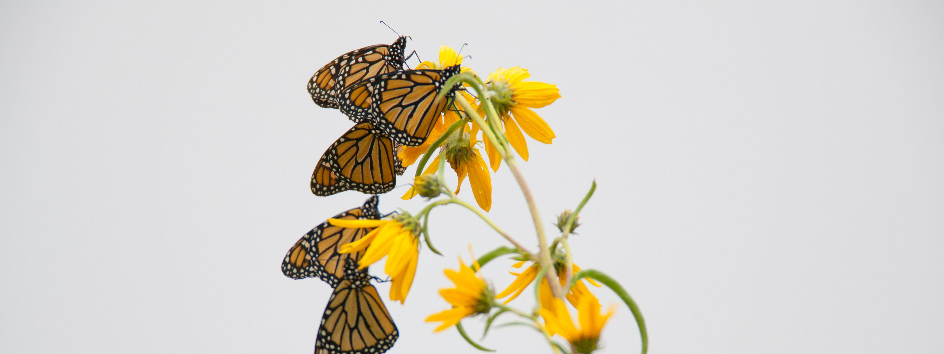Three monarch butterflies hanging on a yellow wildflower.