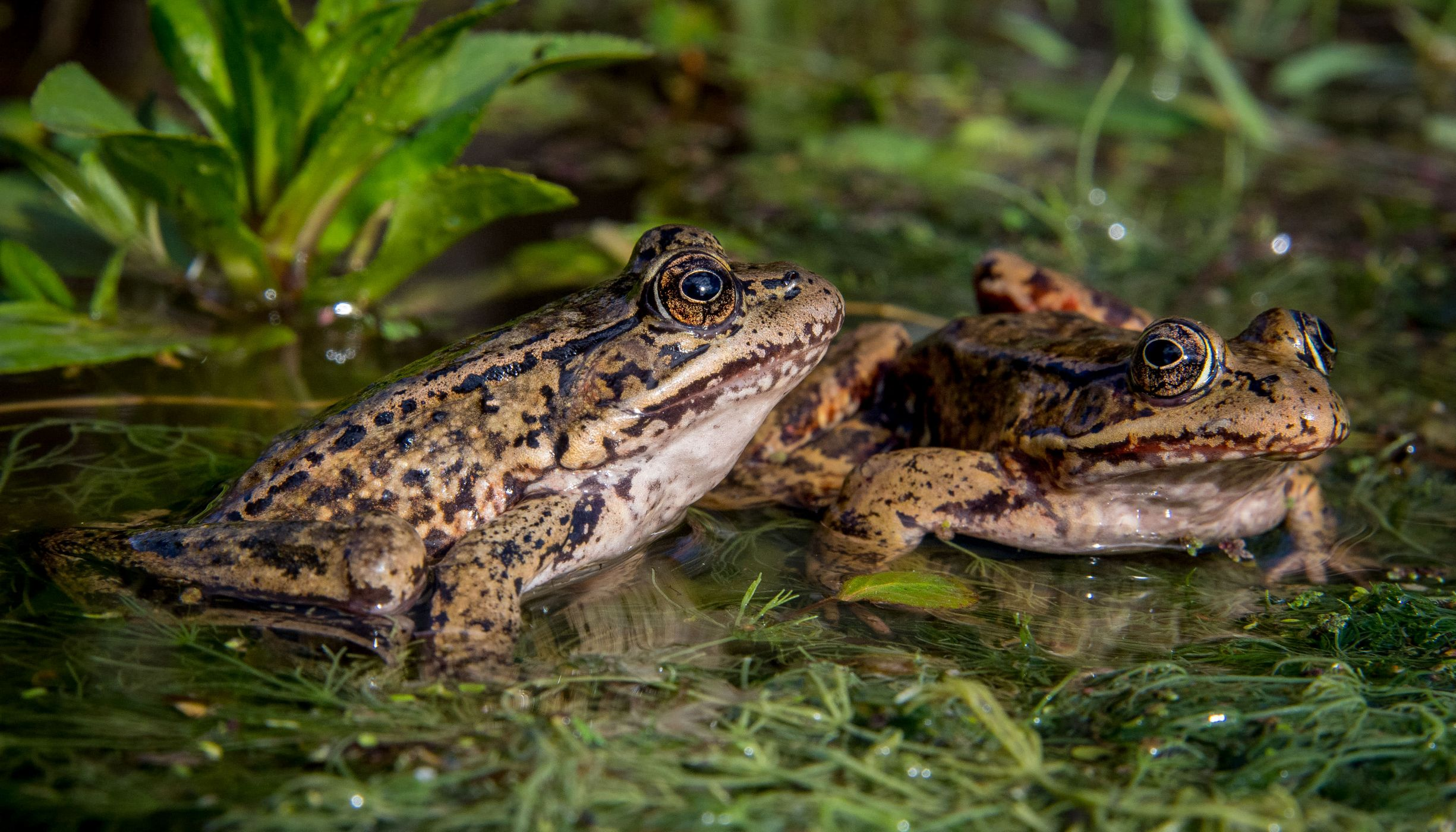 Two frogs in a small body of water.