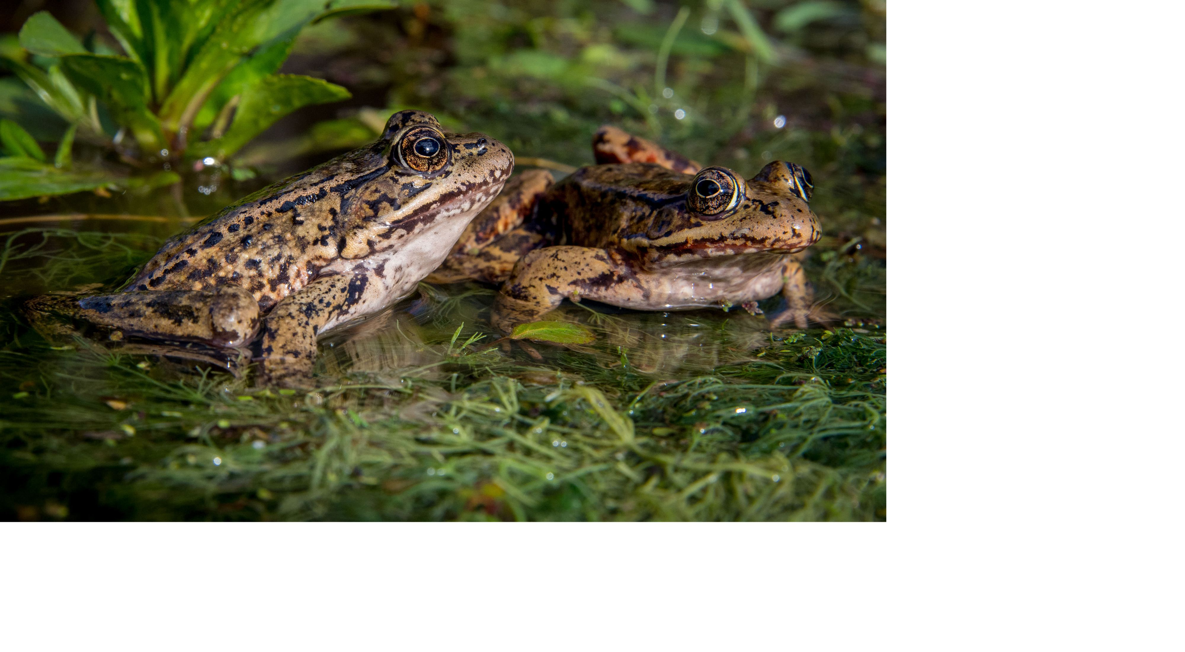 Adult male and female California red-legged frogs from the source population in Baja California, México.