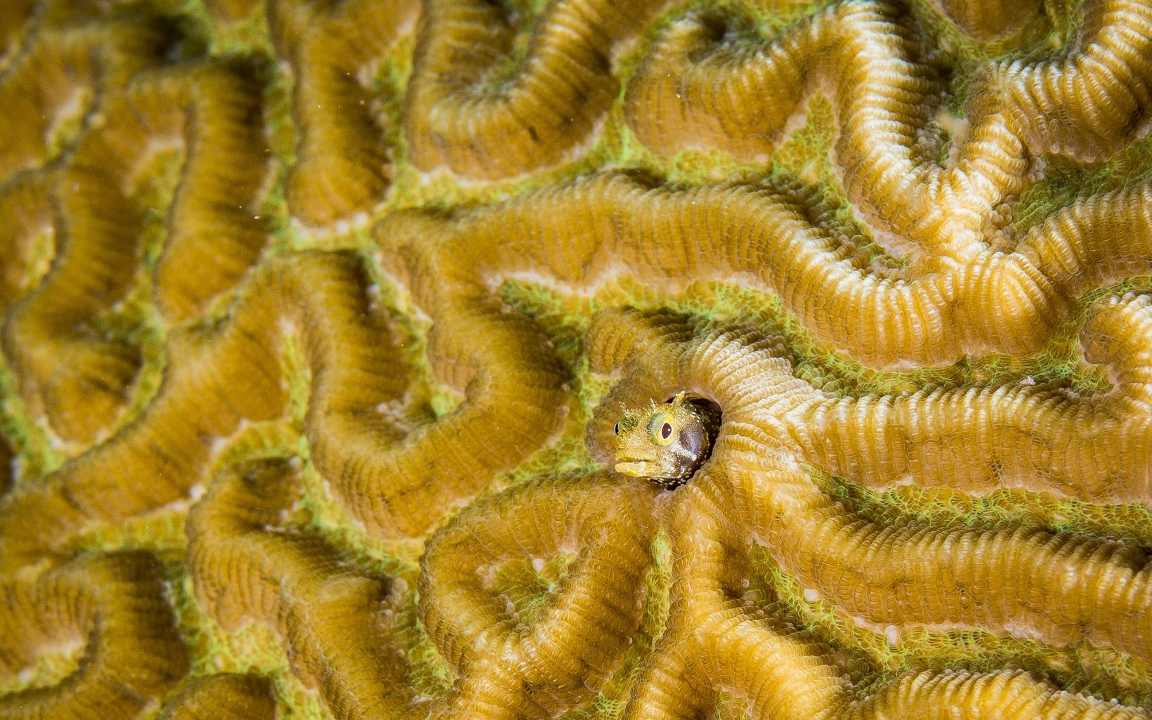 Boulder Brain Coral (Colphyllia natans) with spinyhead blenny (Acanthemblemaria spinose) in St. Eustatius, Caribbean.