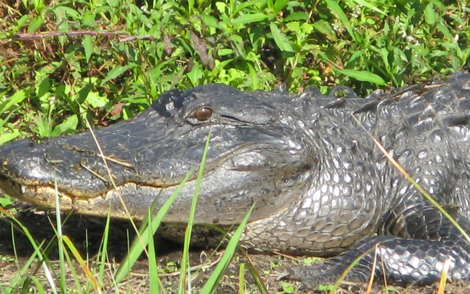 Rafter T Ranch Alligator