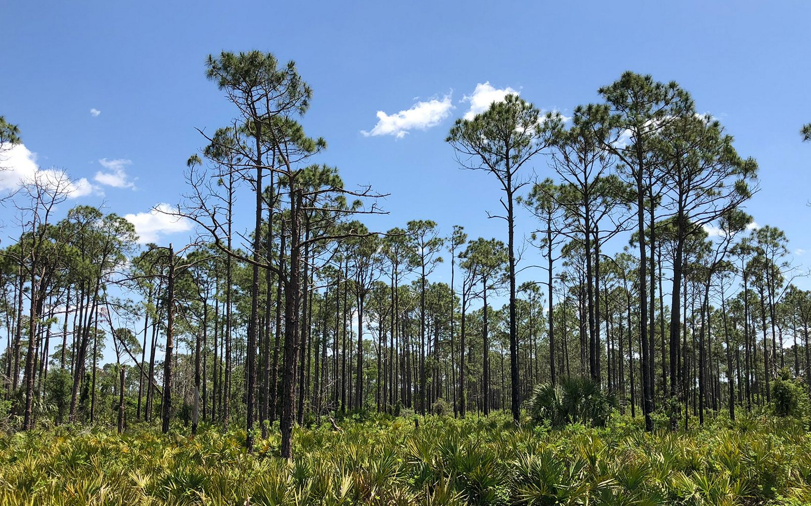 Rafter T Ranch pine trees and saw palmetto