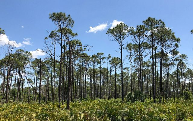 Tall pines with a shrubby understory.