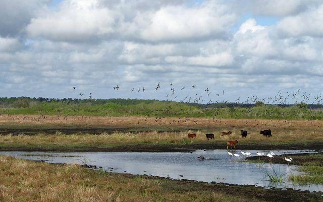 Grazing land with wading birds
