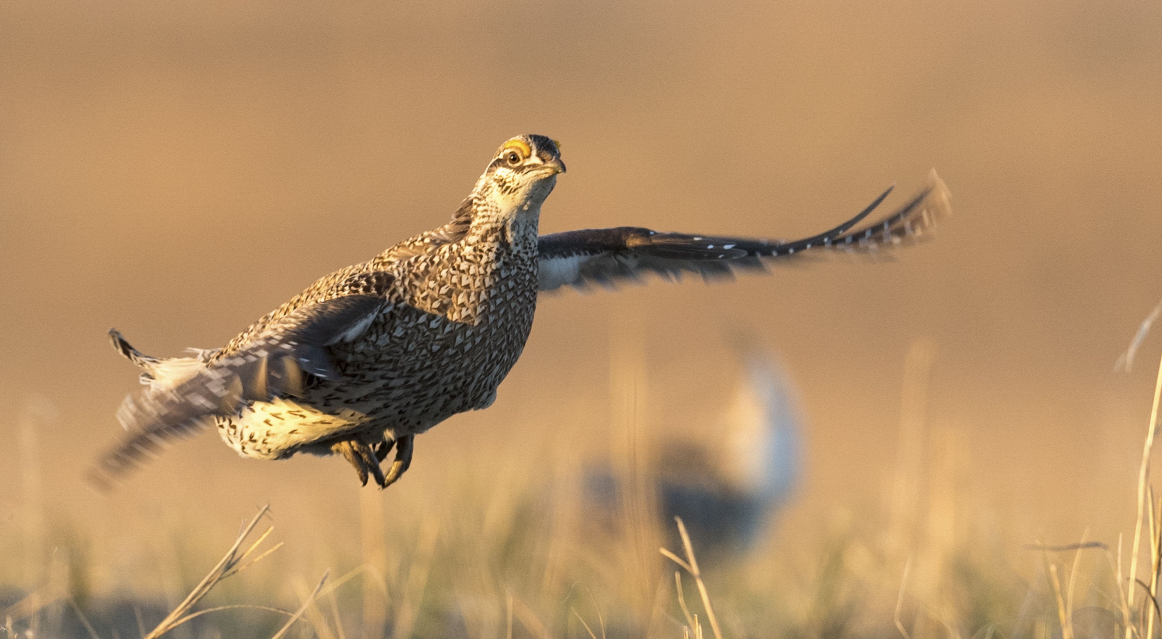 Photo of a greater sage grouse taking flight.