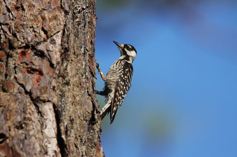 Photo of a red-cockaded woodpecker against a longleaf pine.
