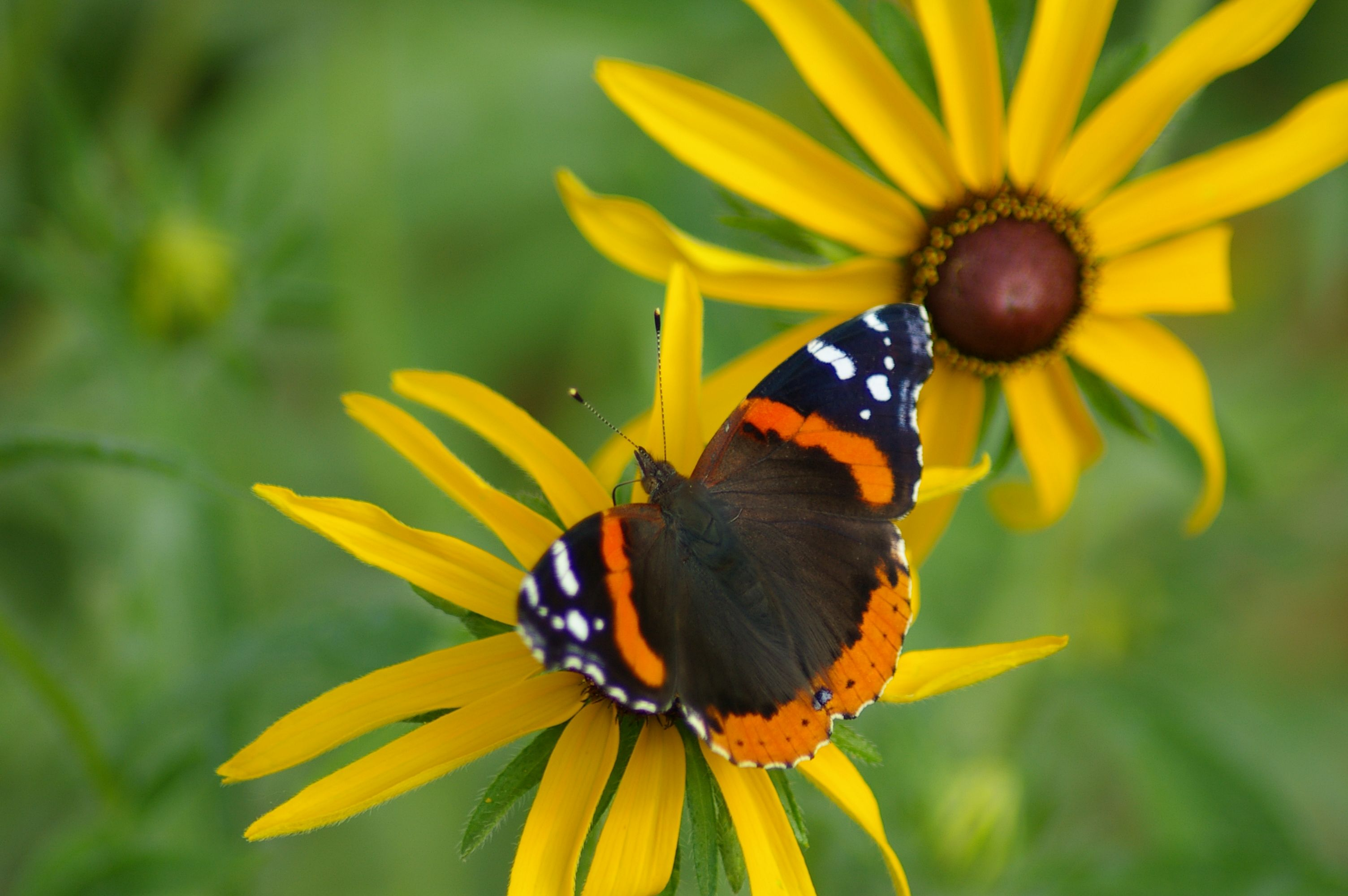 A red admiral butterfly is perched on a yellow flower.