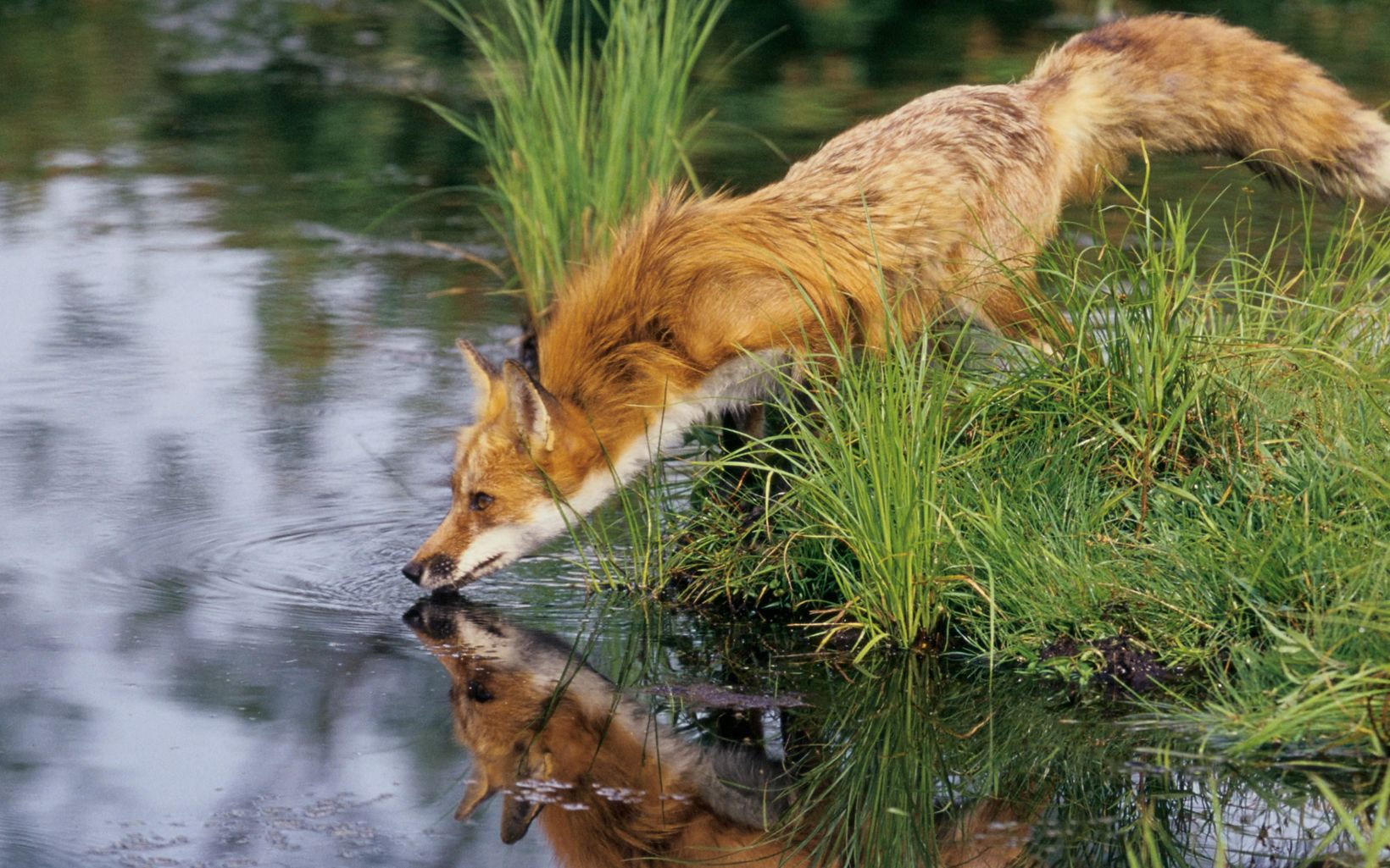 Red foxes can be found all over Wisconsin, especially in the southern, central and western parts of the state.