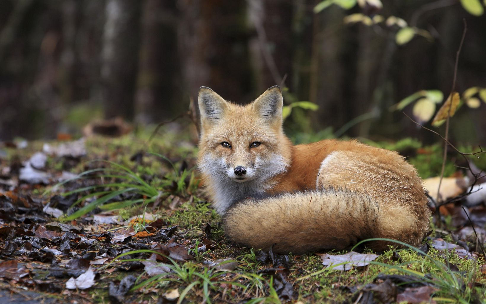 A red fox is sitting on the ground.