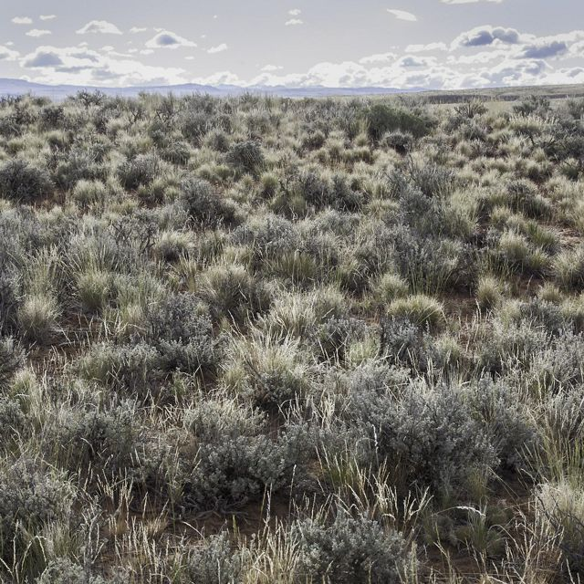 A field of green sagebrush under a cloudy sky.