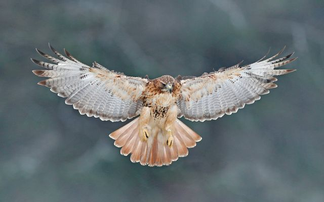 A hawk in flight viewed head on from below, exposing the underside of the wings and tail.