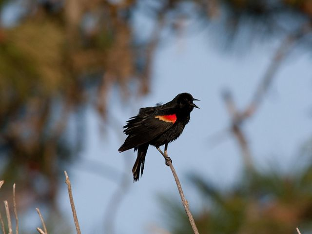 A red-winged black bird is singing from a small tree branch.