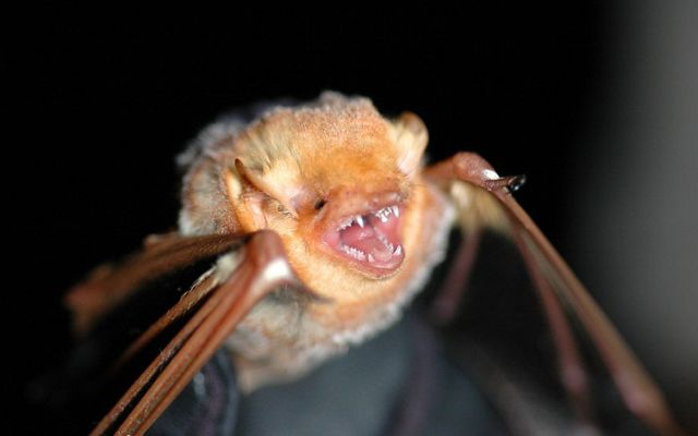 A close-up view of a red bat, with its mouth open, exposing its teeth.