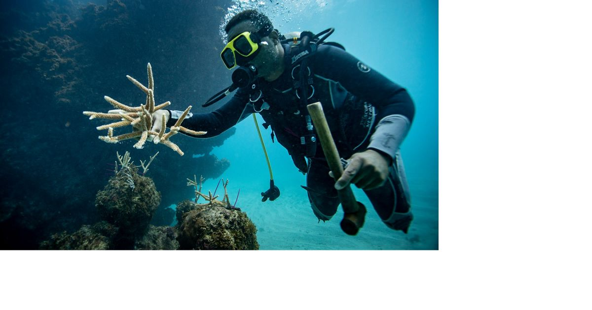 a diver places healthy coral fragments on the reef