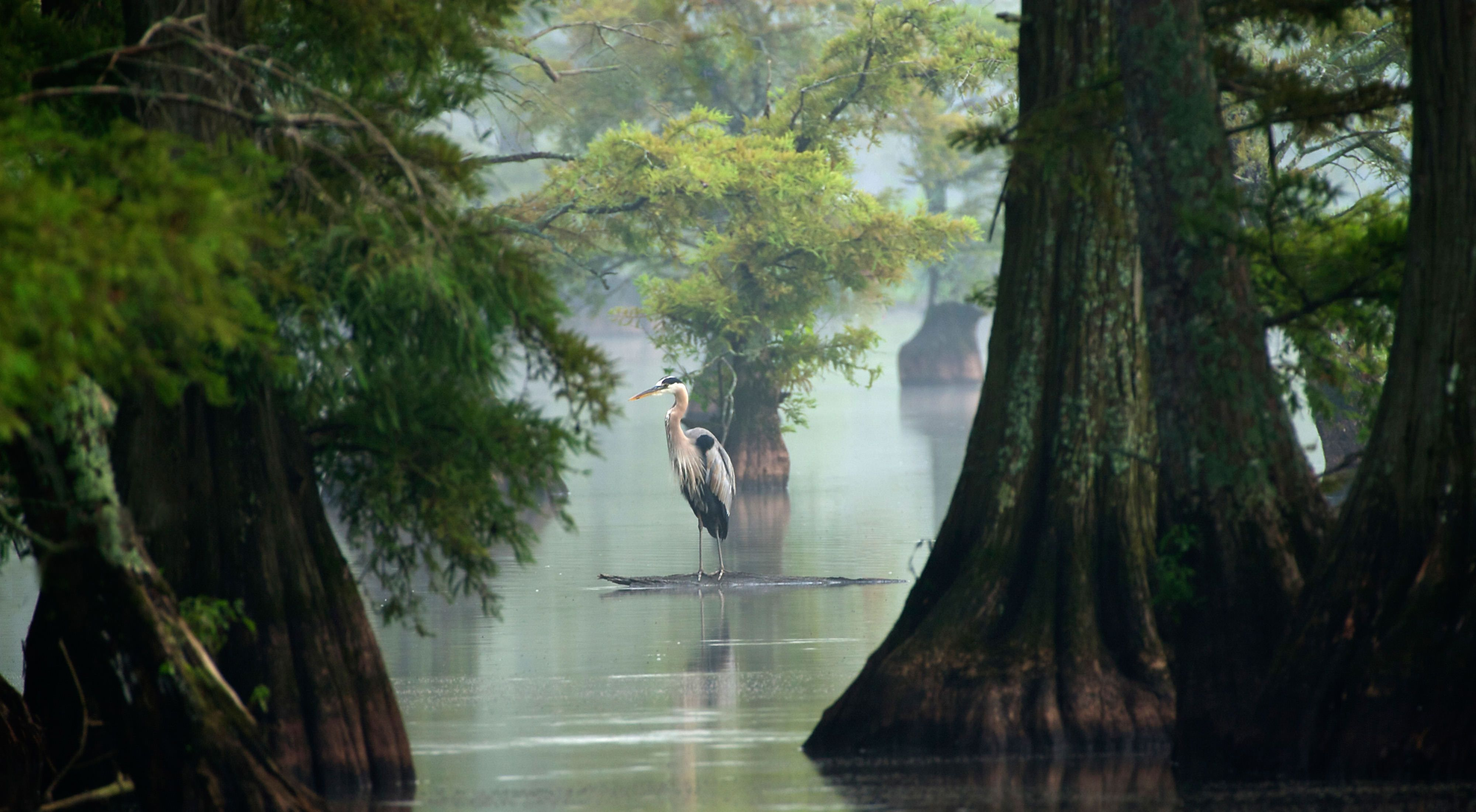 Great Blue Heron on Reelfoot Lake.