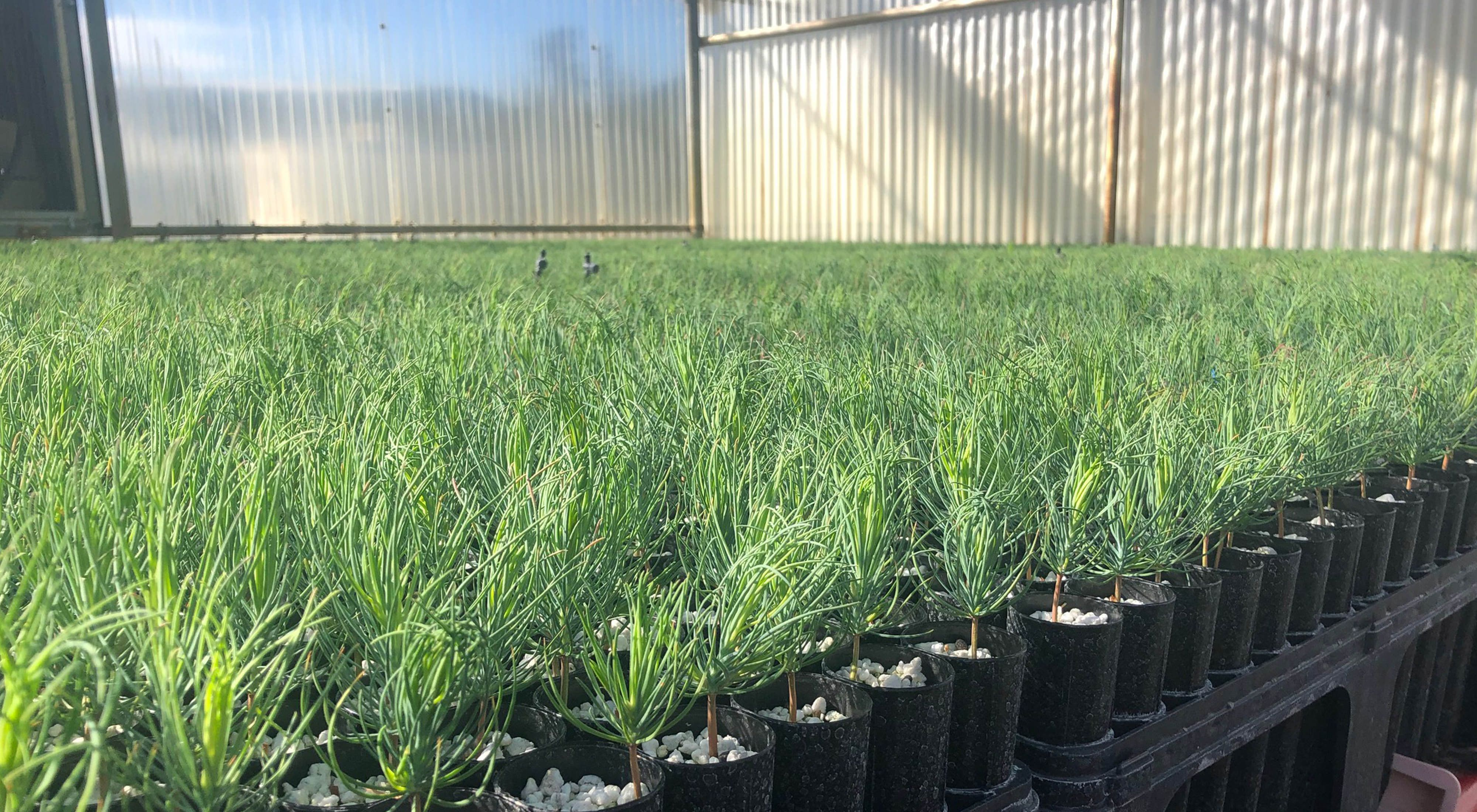 Seedlings slated for reforestation use are ready for planting.