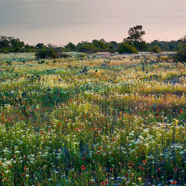 Landscape of native wildflowers at the Pontotoc Ridge Preserve in Oklahoma.