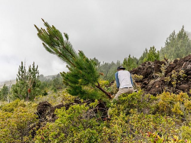 A worker removes a non-native pine tree from the summit of Haleakala on Maui.