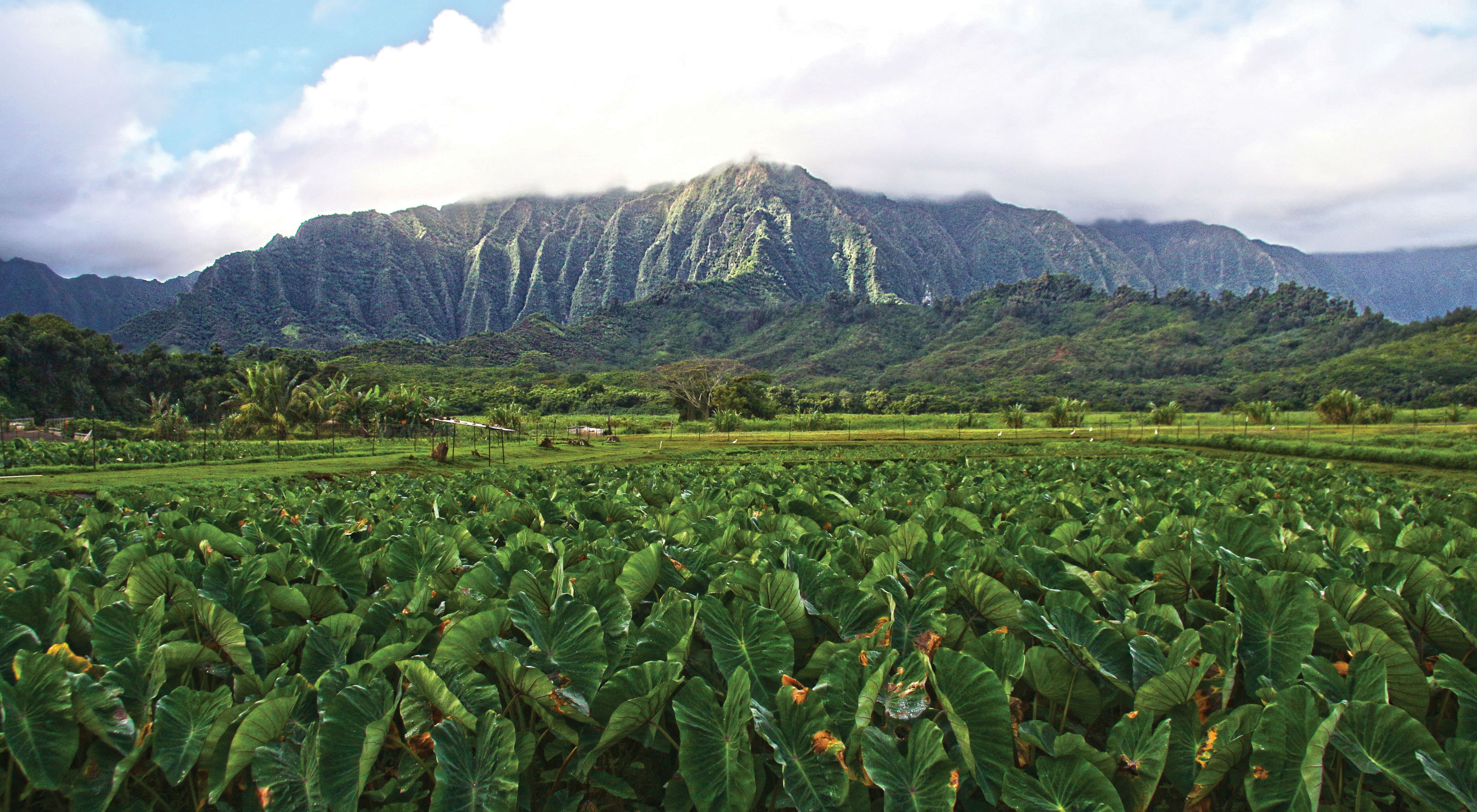 Replanted taro field in He'eia, Windward O'ahu.
