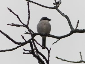 loggerhead shrike rests on a branch