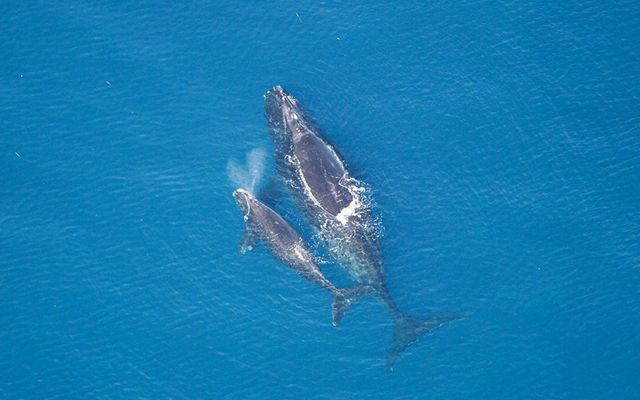 Critically endangered right whale with calf swims in the ocean.
