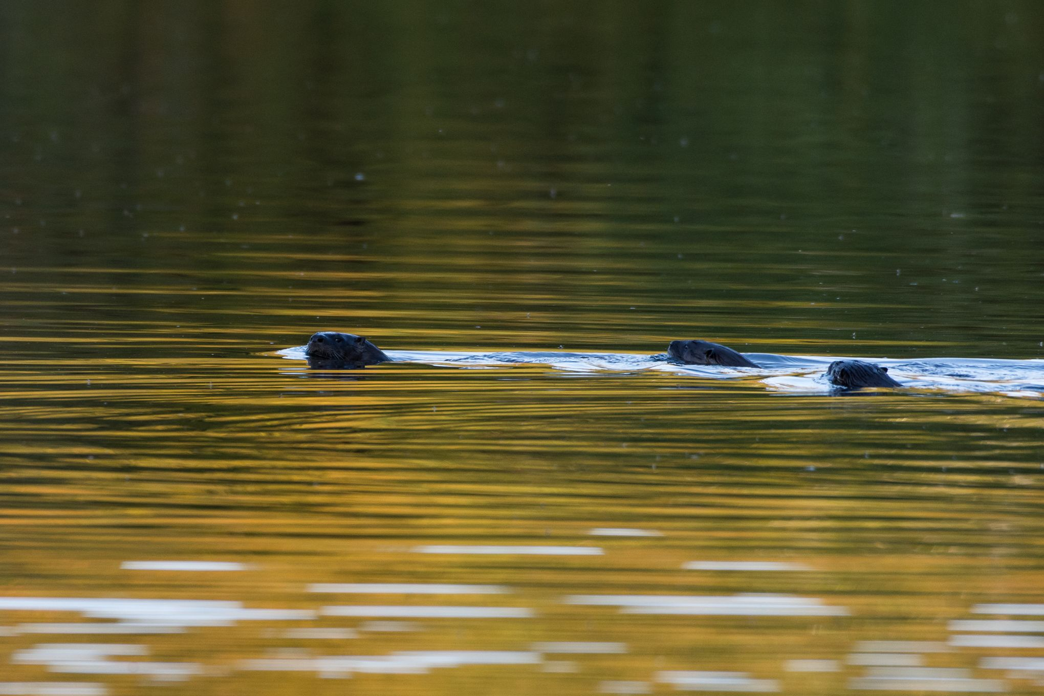 Three river otters swim in a pond in golden sunlight.