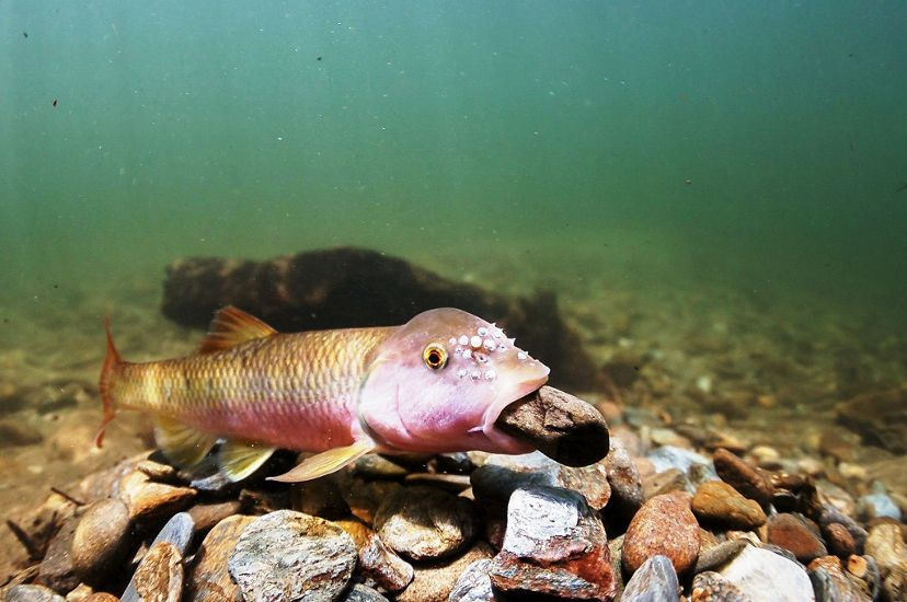 A fish moves a pebble at the bottom of a river.