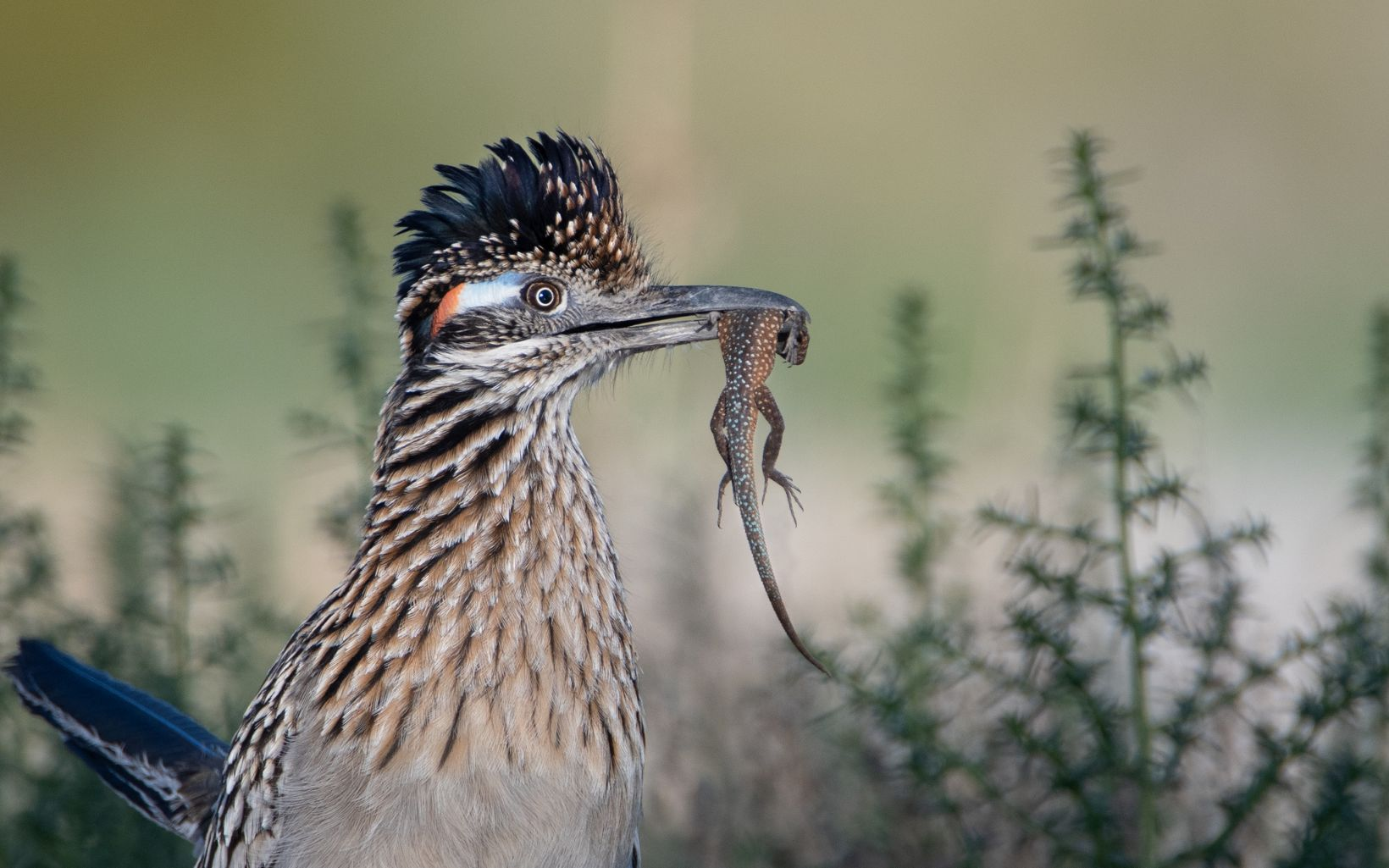 The neck and head of a bird with brown and tan feathers and a crest on its head, holding a small lizard in its beak, with green plants growing up on either side in the background.