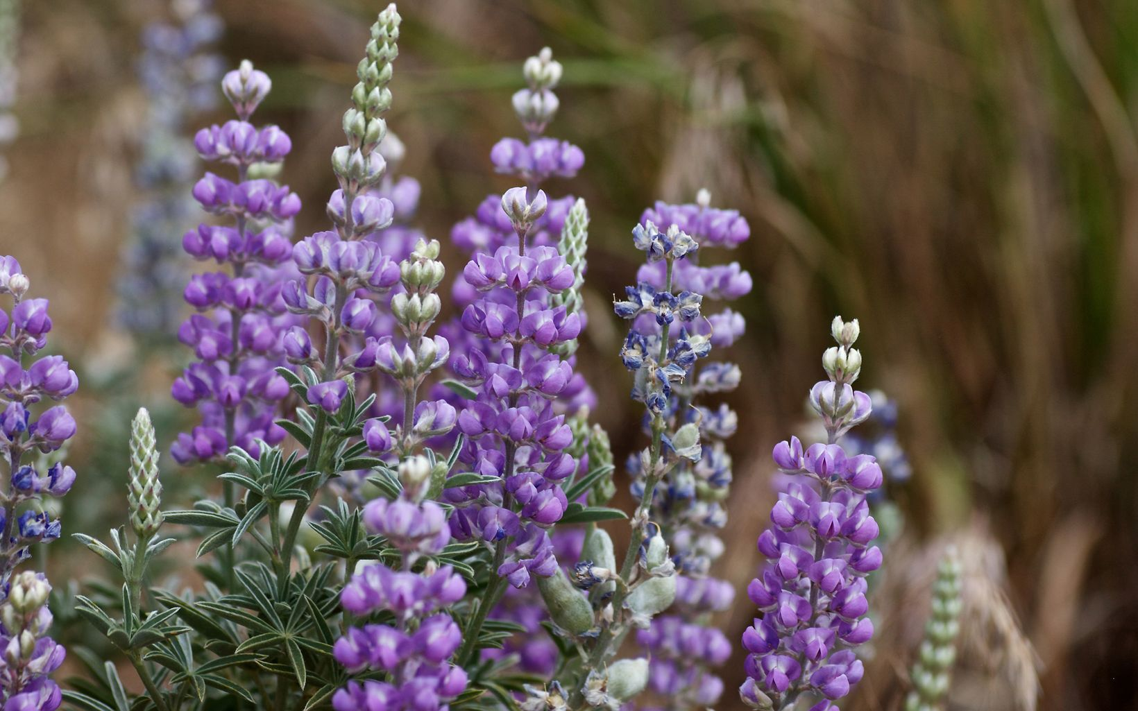 Rock Creek Ranch Lupine in Bloom