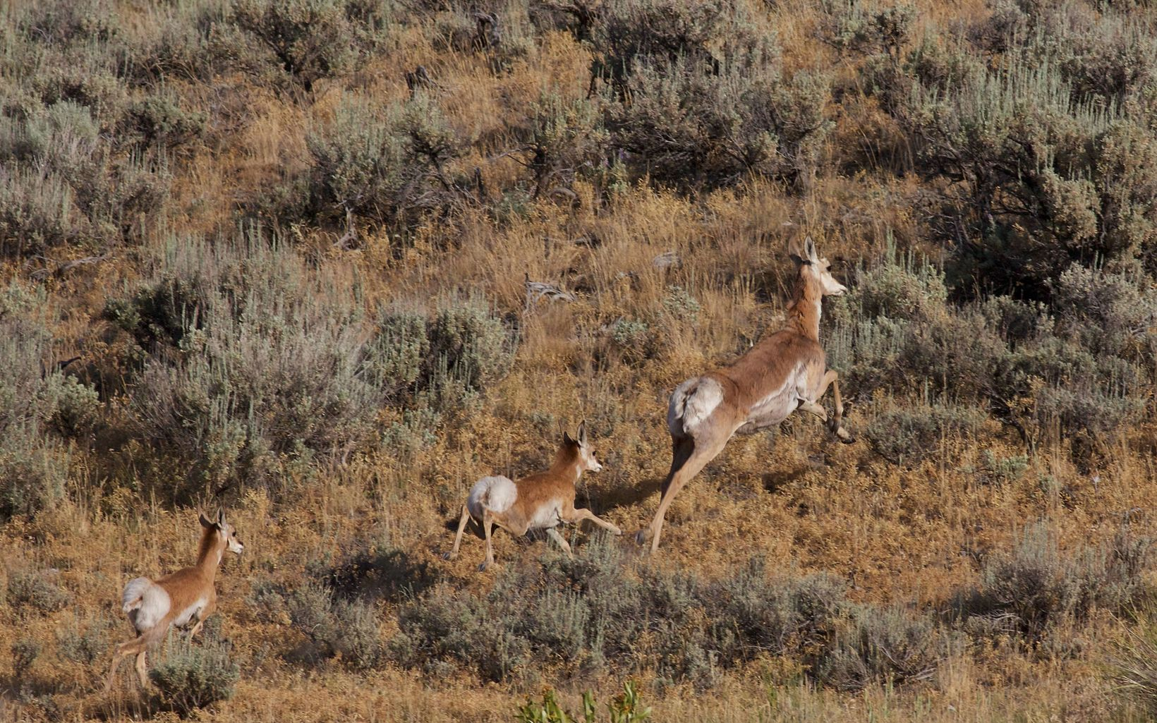 Rock Creek Ranch Pronghorn