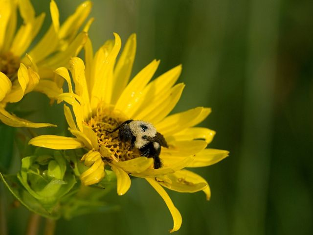 Close-up of a bumblebee in the center of a bright yellow rosinweed flower