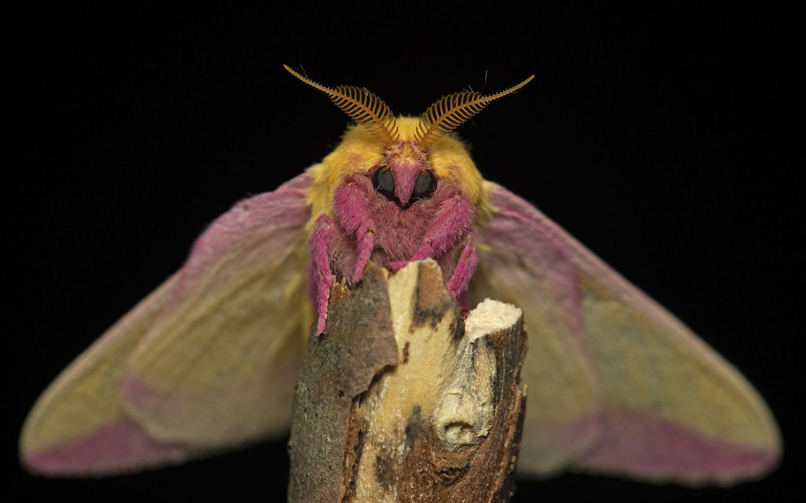 Portrait of a rosy maple moth