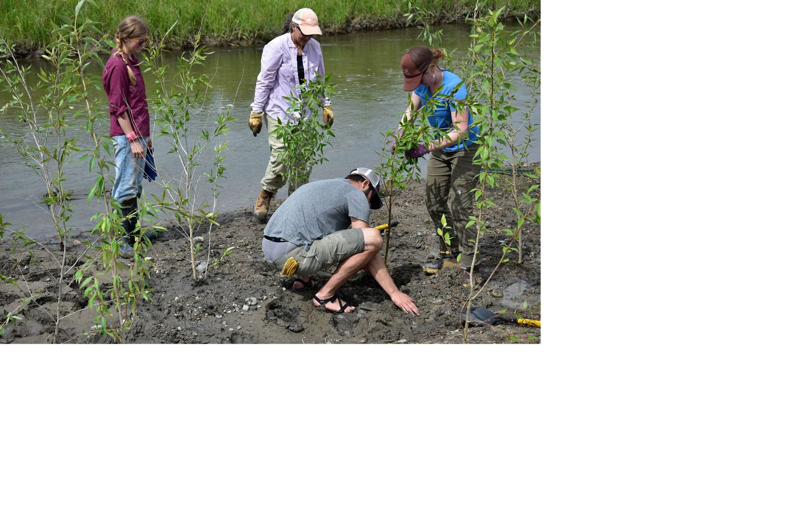 Planting willows on newly aligned Ruby River. A mix of hundreds of small trees and willow stakes are planted to stabilize banks and provide water-cooling shade.