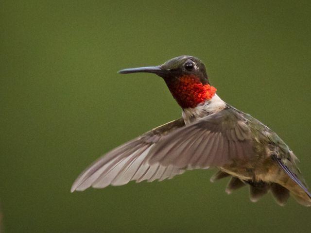 Ruby-throated hummingbird in mid-air.