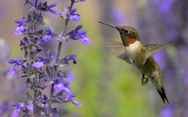 Small green bird with a red throat hovers in front of a stalk of small purple flowers.