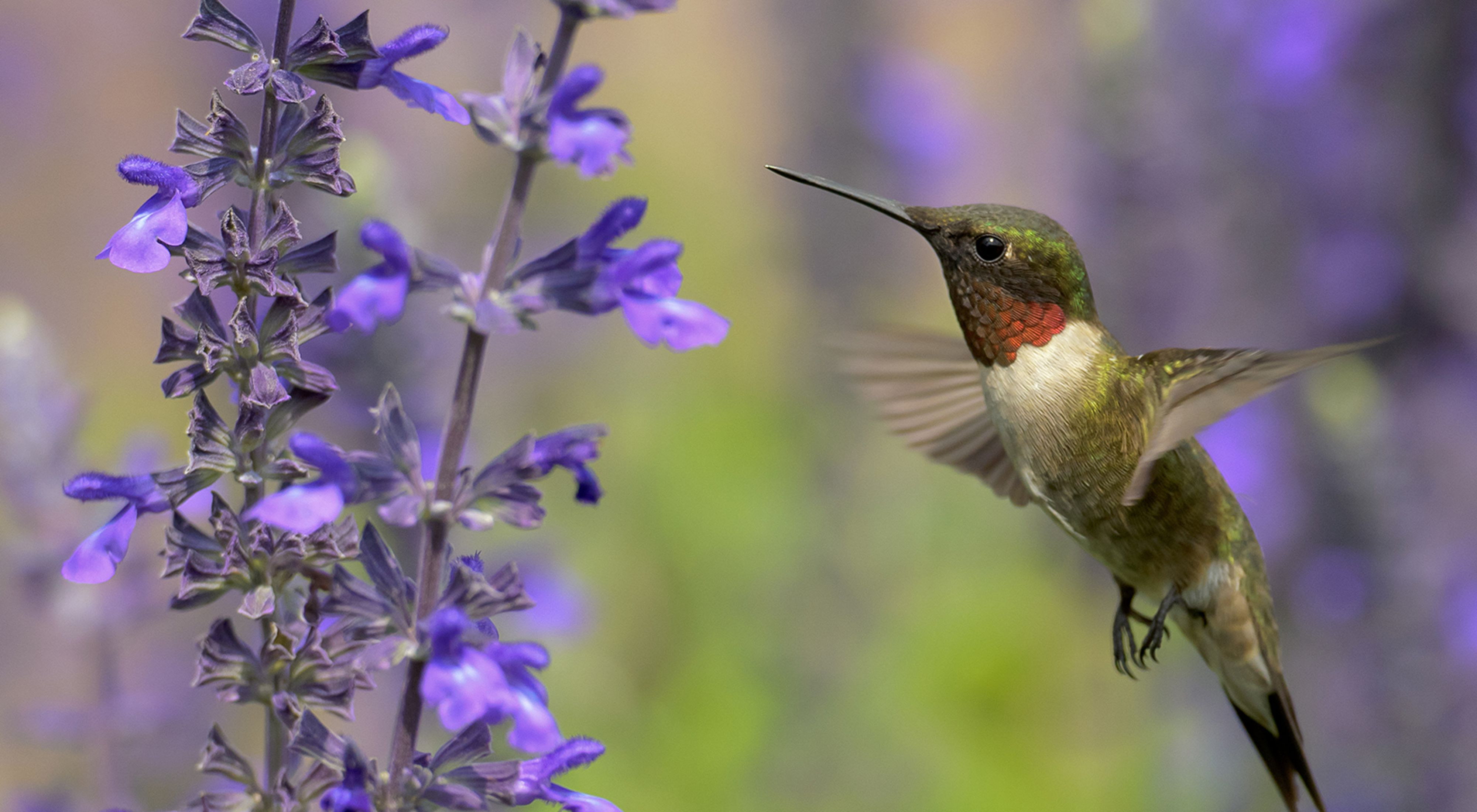 A hummingbird flies next to a purple flower.