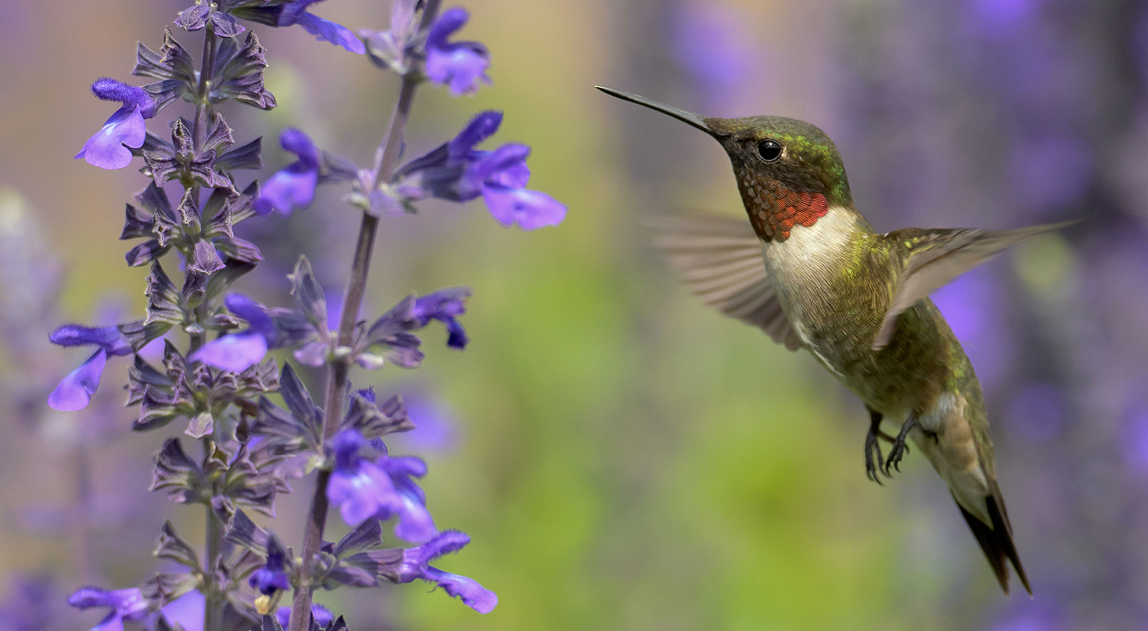 A green hummingbird with a white breast and red, iridescent throat visits a purple flower.