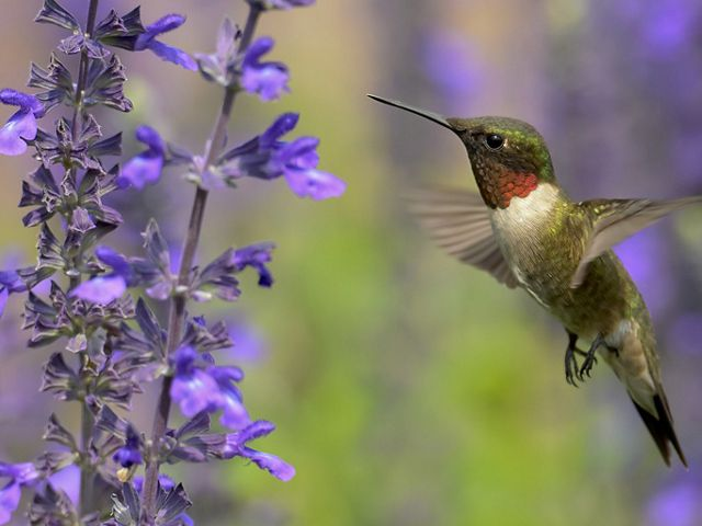 A hummingbird visits a purple flower.