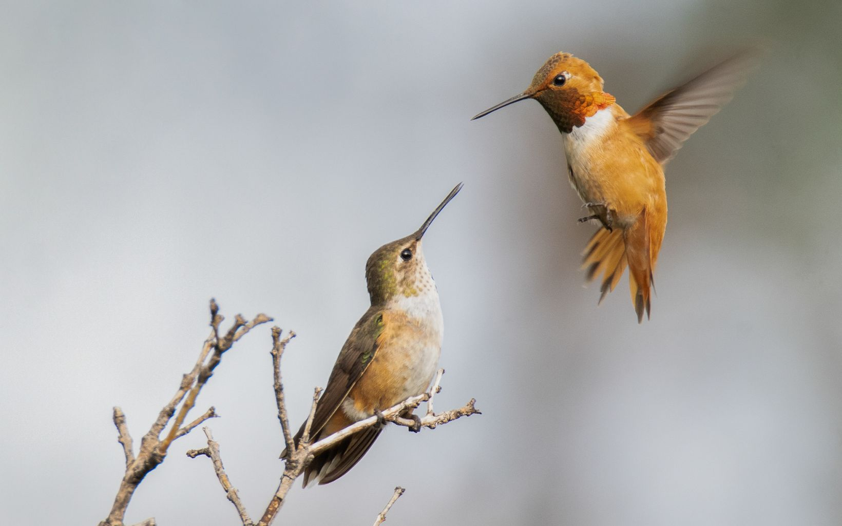 Two reddish brown hummingbirds, one perched on a small branch and one hovering nearby, with their beaks pointed at each other.