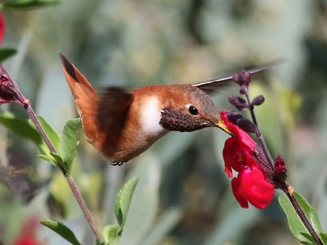 A rufous hummingbird sips nectar from a flower.
