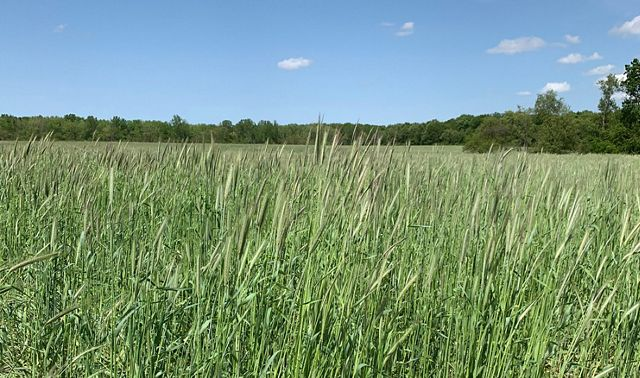 Expansive field of rye crops.