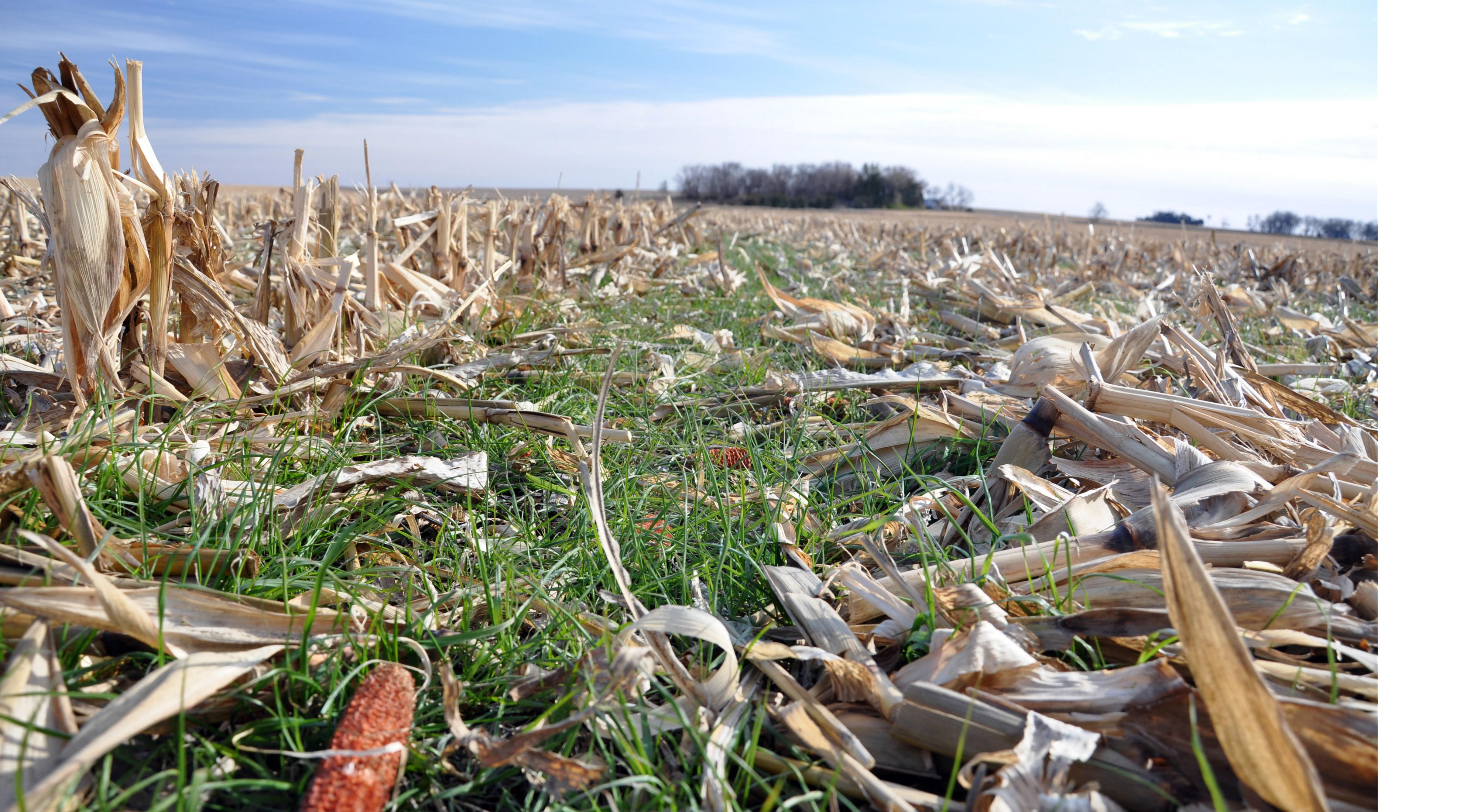 Rye cover crops in corn residue.