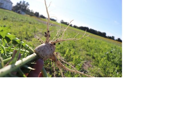 Closeup of the root of a freshly harvested radish used as a cover crop to improve soil health and prevent erosion