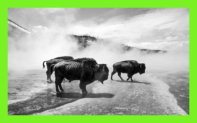 Black and white photo of three bison walking through steam at the Grand Prismatic Spring in Yellowstone National Park.