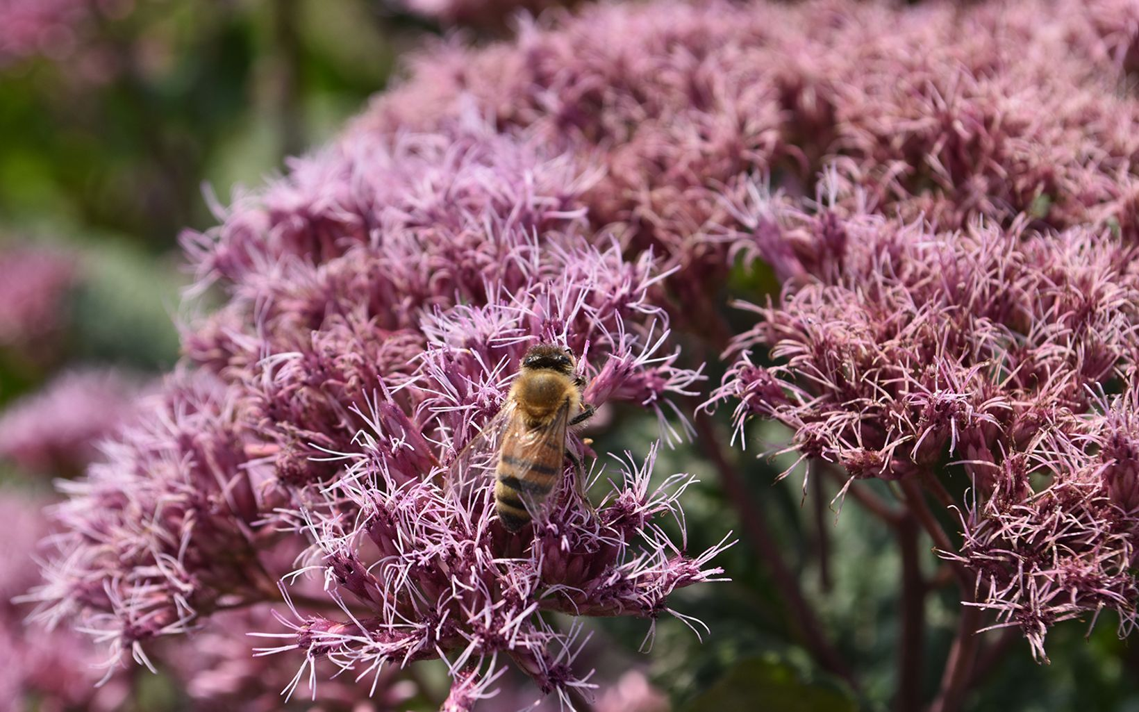 A bee lands on brightly colored flowers